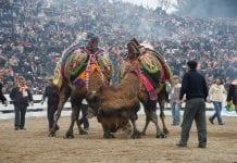 Selçuk- Efes Deve Güreşleri Festivali