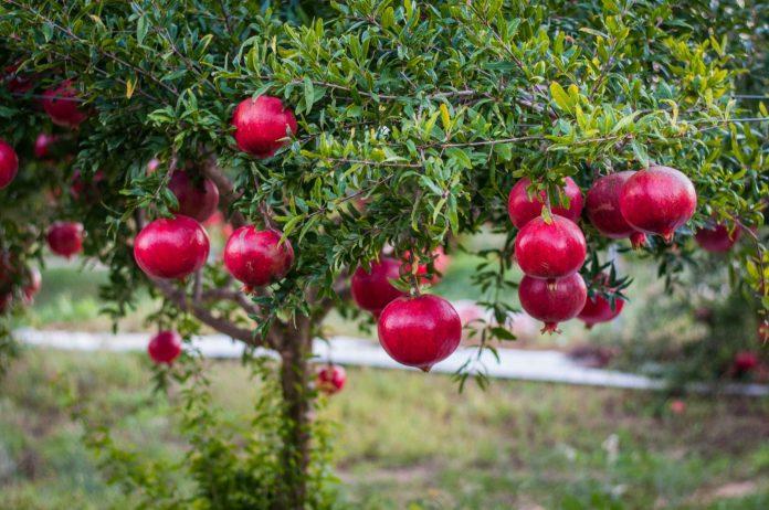 Çiçekli Köyü Adana Nar Festivali