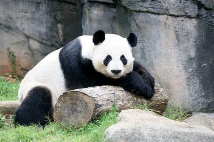 Panda Yetişticiliği ve Araştırma Merkezi