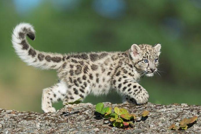 Baby Leopar