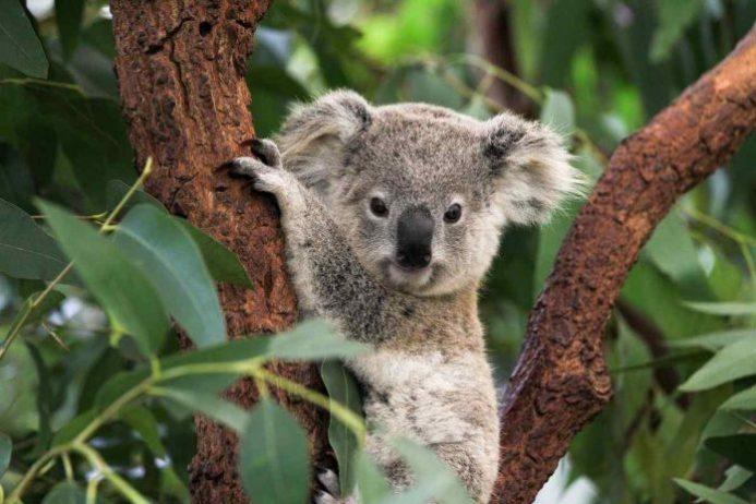 lone pine koala koruma alanı