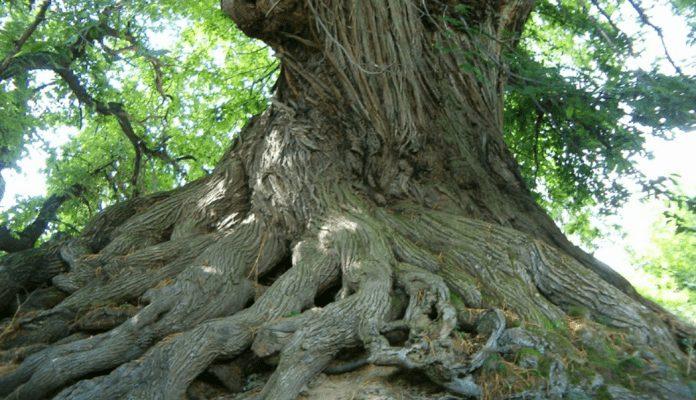 bin yıllık kestane ağacı