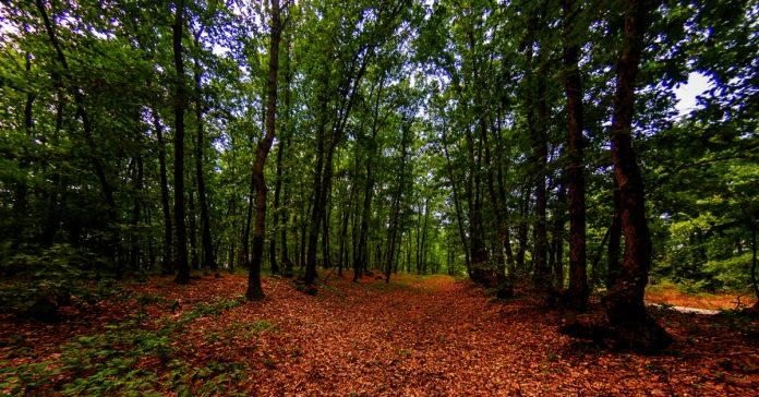 bulanık meşe ormanları