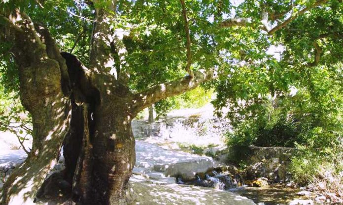 orduzu çınar ağacı