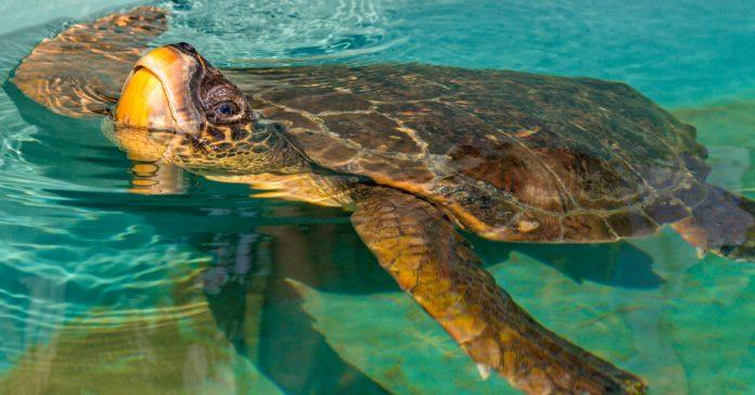 Caretta Caretta Kaplumbağası